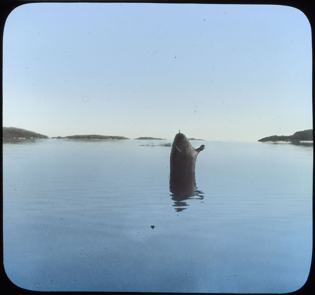 Donald Baxter MacMillan; A Walrus Float; 1913-1917; image; silver gelatin on glass; 10.16 cm x 8.26 cm x 0.64 cm (4 in. x 3 1/4 in. x 1/4 in.); TGM; North America