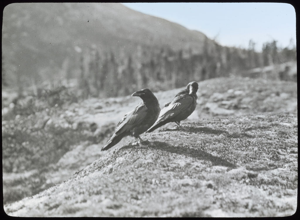 Donald Baxter MacMillan; Ravens at Etah!; 1913-1917; image; silver gelatin on glass; 10.16 cm x 8.26 cm x 0.64 cm (4 in. x 3 1/4 in. x 1/4 in.); TGM; North America