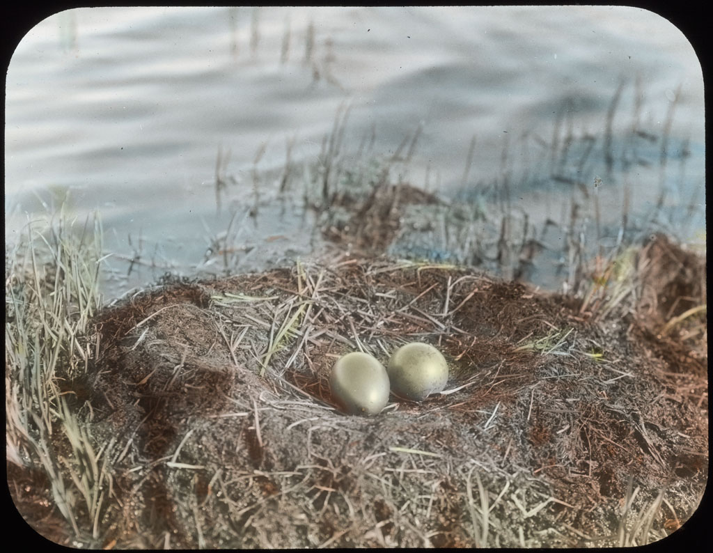 Donald Baxter MacMillan; Eggs of Garia stellata. Red Throated Loon; 1913-1917; image; silver gelatin on glass; 10.16 cm x 8.26 cm x 0.64 cm (4 in. x 3 1/4 in. x 1/4 in.); TGM; North America