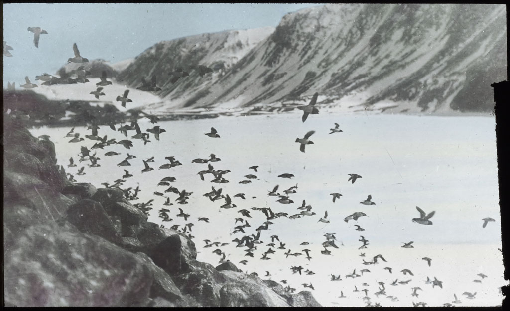 Donald Baxter MacMillan; Dovekies at Foulke Fiord; 1913-1917; image; silver gelatin on glass; 10.16 cm x 8.26 cm x 0.64 cm (4 in. x 3 1/4 in. x 1/4 in.); TGM; North America
