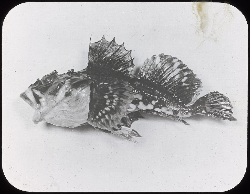 Donald Baxter MacMillan; Sculpin Caught at Etah; 1913-1917; image; silver gelatin on glass; 10.16 cm x 8.26 cm x 0.64 cm (4 in. x 3 1/4 in. x 1/4 in.); TGM; North America
