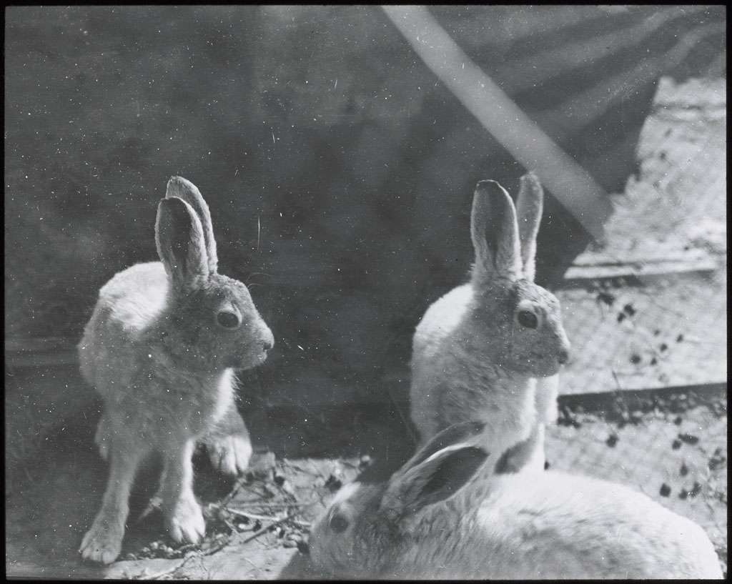Donald Baxter MacMillan; Hare. Pets at Etah; 1913-1917; image; silver gelatin on glass; 10.16 cm x 8.26 cm x 0.64 cm (4 in. x 3 1/4 in. x 1/4 in.); TGM; North America