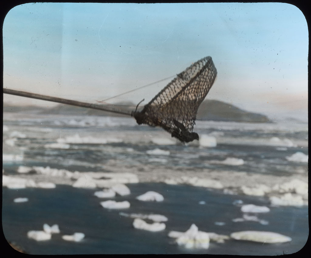 Donald Baxter MacMillan; Netting Dovekie (Little Auk); 1913-1917; image; silver gelatin on glass; 10.16 cm x 8.26 cm x 0.64 cm (4 in. x 3 1/4 in. x 1/4 in.); TGM; North America