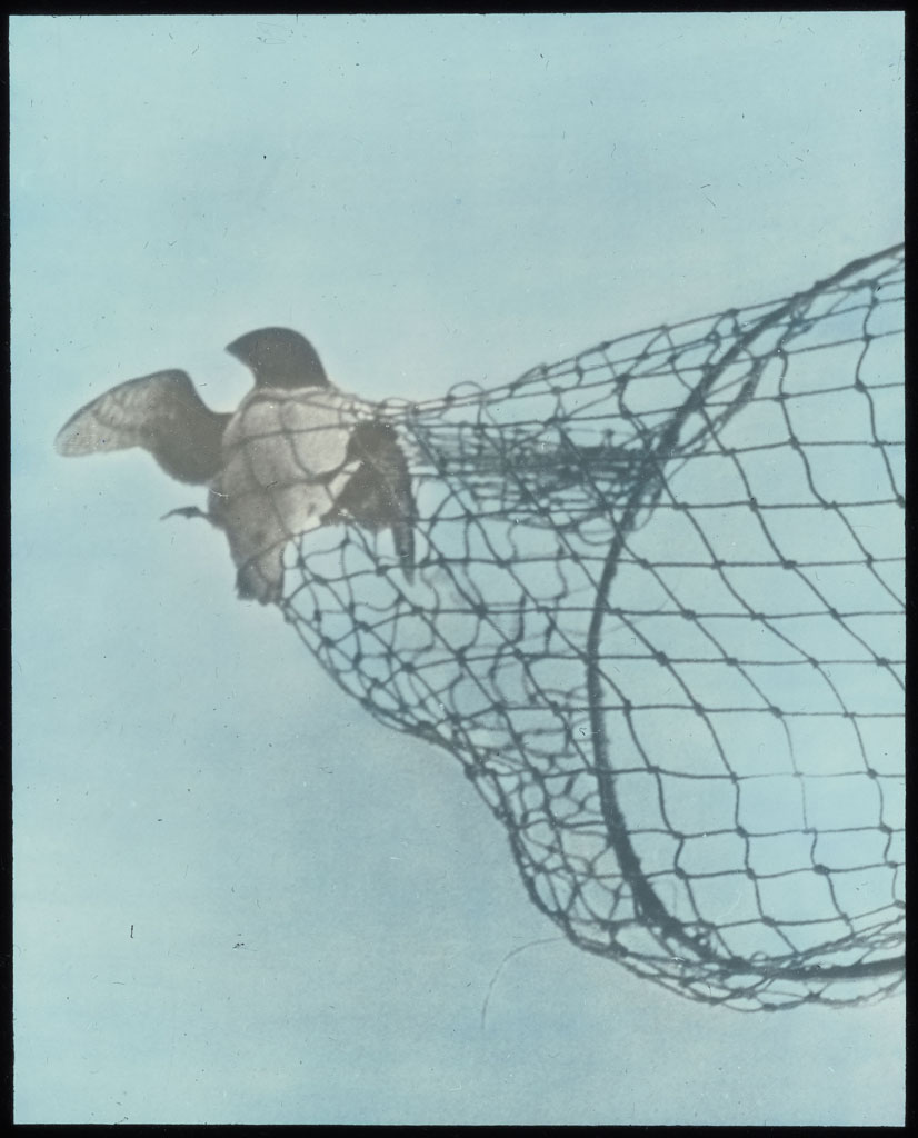 Donald Baxter MacMillan; Dovekie (Little Auk) in net; 1924; image; silver gelatin on glass; 10.16 cm x 8.26 cm x 0.64 cm (4 in. x 3 1/4 in. x 1/4 in.); TGM; North America