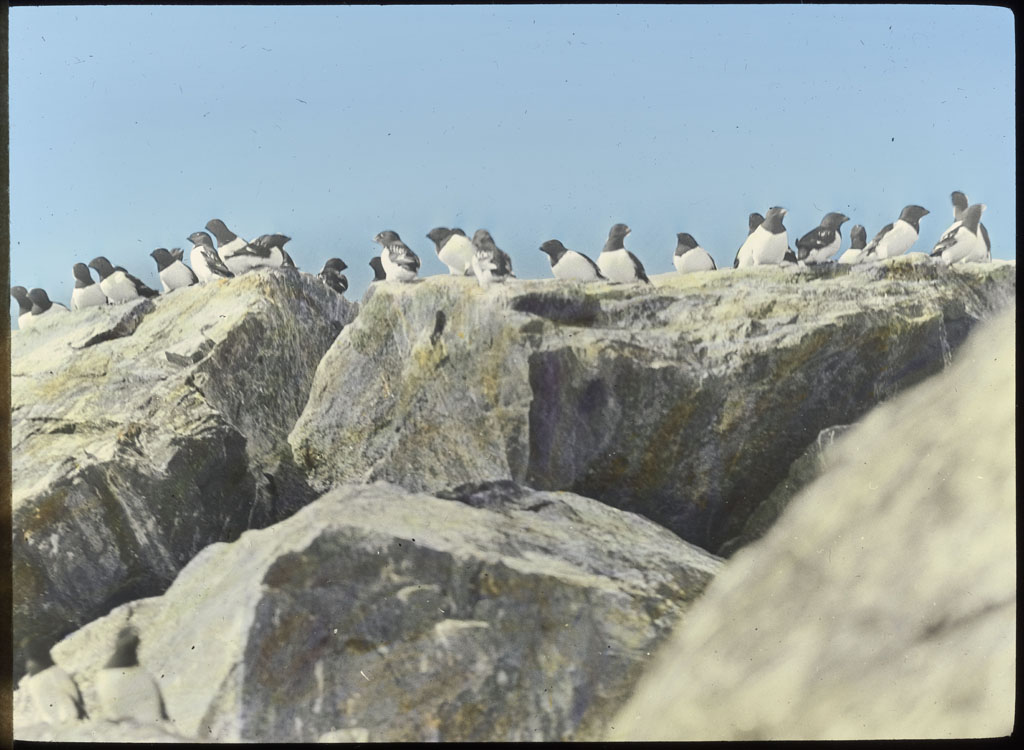 Dovekies (Little Auk) on rocks