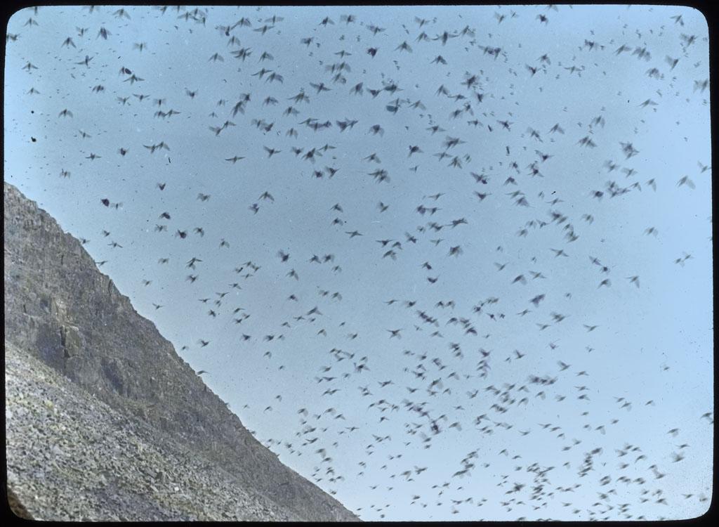 Dovekies (Little Auk) in flight