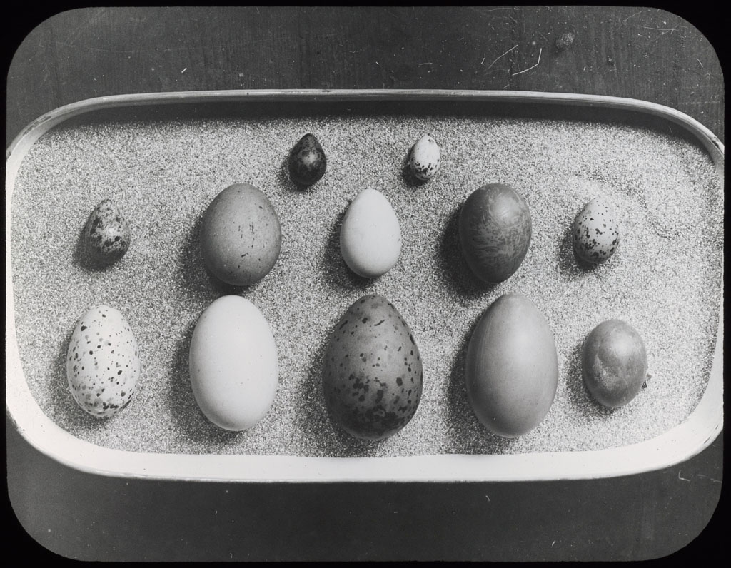 Donald Baxter MacMillan; Tray with 12 different eggs; 1913-1917; image; silver gelatin on glass; 10.16 cm x 8.26 cm x 0.64 cm (4 in. x 3 1/4 in. x 1/4 in.); TGM; North America