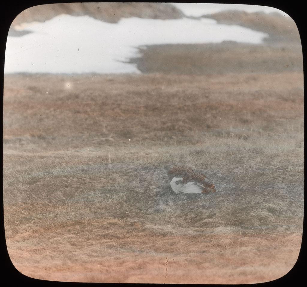 Donald Baxter MacMillan; Ptarmigan on grass; 1913-1917; image; silver gelatin on glass; 10.16 cm x 8.26 cm x 0.64 cm (4 in. x 3 1/4 in. x 1/4 in.); TGM; North America