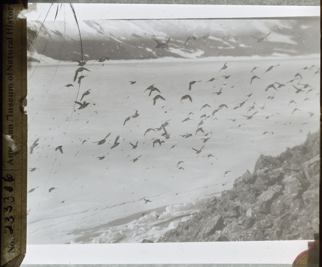 Donald Baxter MacMillan; Birds in flight; 1913-1917; image; silver gelatin on glass; 10.16 cm x 8.26 cm x 0.64 cm (4 in. x 3 1/4 in. x 1/4 in.); TGM; North America