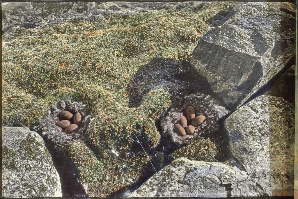 2 Eider nests