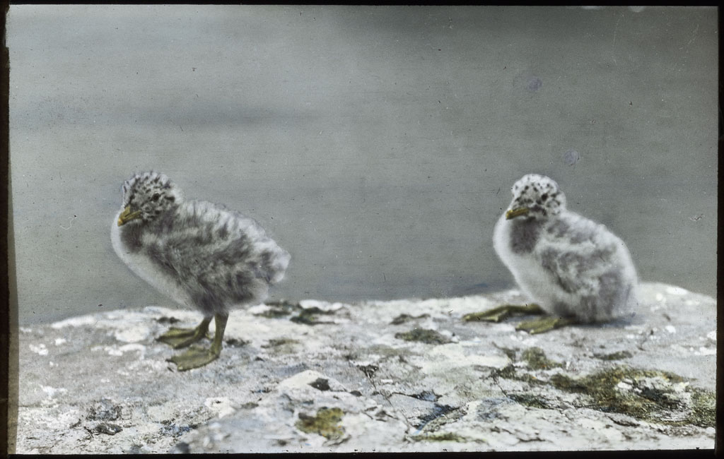 2 Herring Gull chicks