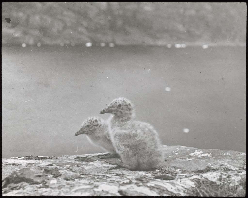 Donald Baxter MacMillan; 2 Glaucous Gull chicks; 1913-1917; image; silver gelatin on glass; 10.16 cm x 8.26 cm x 0.64 cm (4 in. x 3 1/4 in. x 1/4 in.); TGM; North America