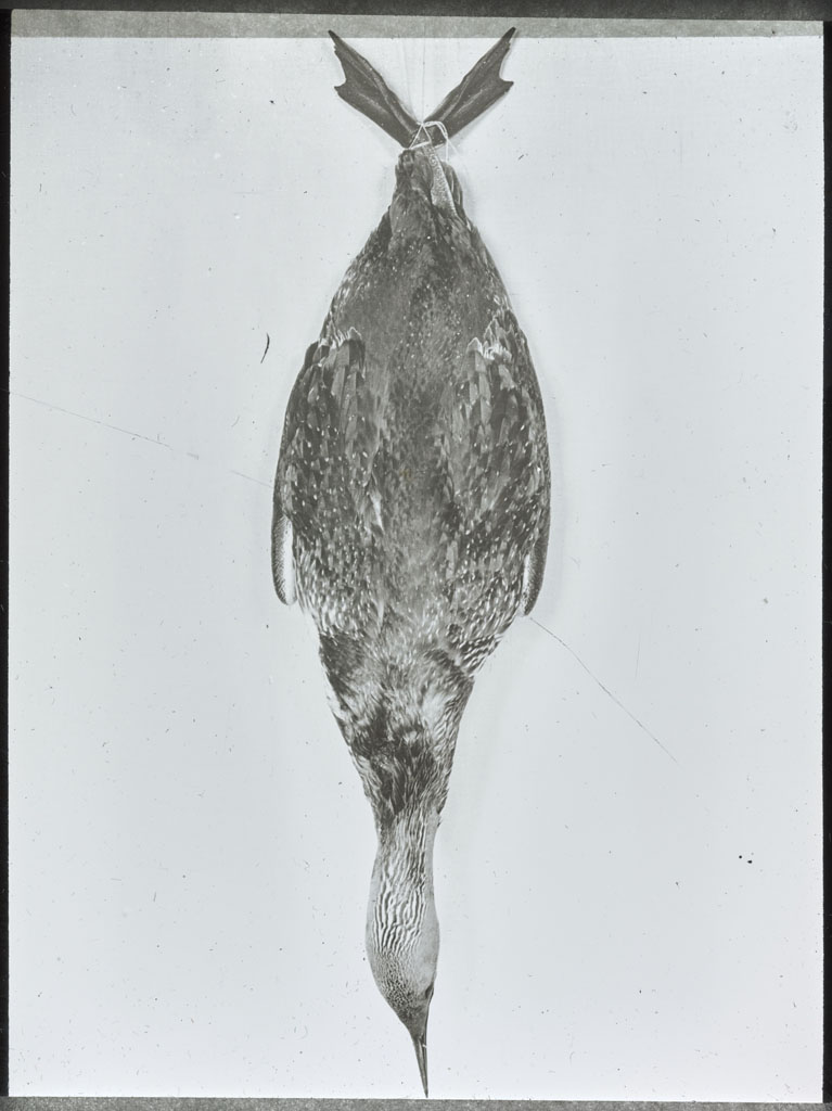 Donald Baxter MacMillan; Red-throated Loon, hanging; 1913-1917; image; silver gelatin on glass; 10.16 cm x 8.26 cm x 0.64 cm (4 in. x 3 1/4 in. x 1/4 in.); TGM; North America