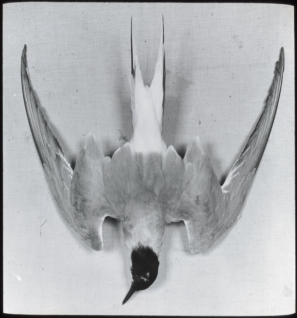 Arctic Tern, dead, back view