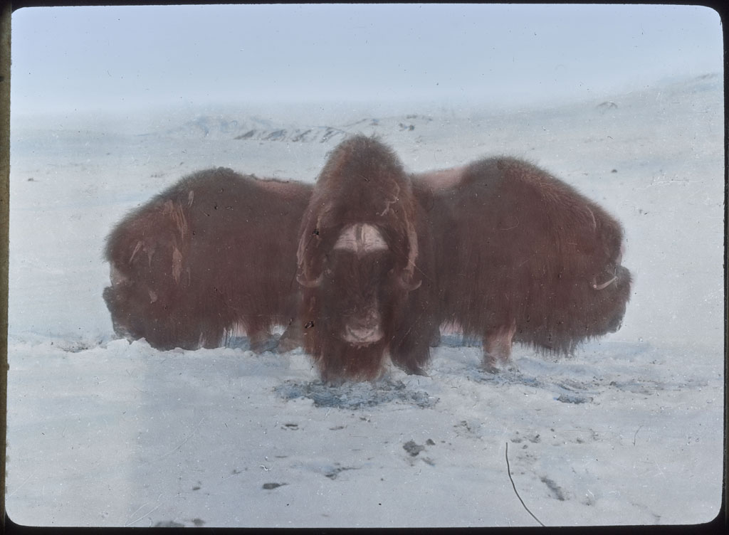 Donald Baxter MacMillan; 3 Musk-oxen in defense formation; 1913-1917; image; silver gelatin on glass; 10.16 cm x 8.26 cm x 0.64 cm (4 in. x 3 1/4 in. x 1/4 in.); TGM; North America