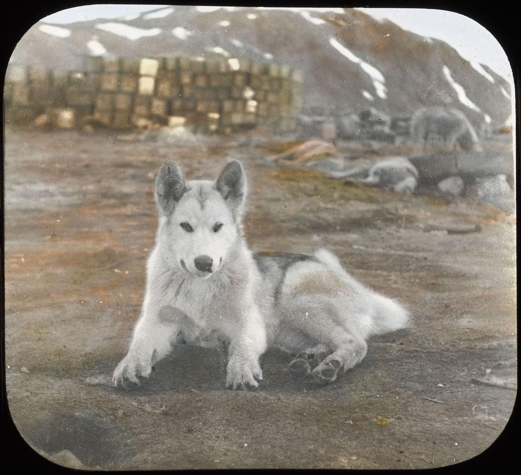 Donald Baxter MacMillan; Young sledge dog, resting; 1913-1917; image; silver gelatin on glass; 10.16 cm x 8.26 cm x 0.64 cm (4 in. x 3 1/4 in. x 1/4 in.); TGM; North America