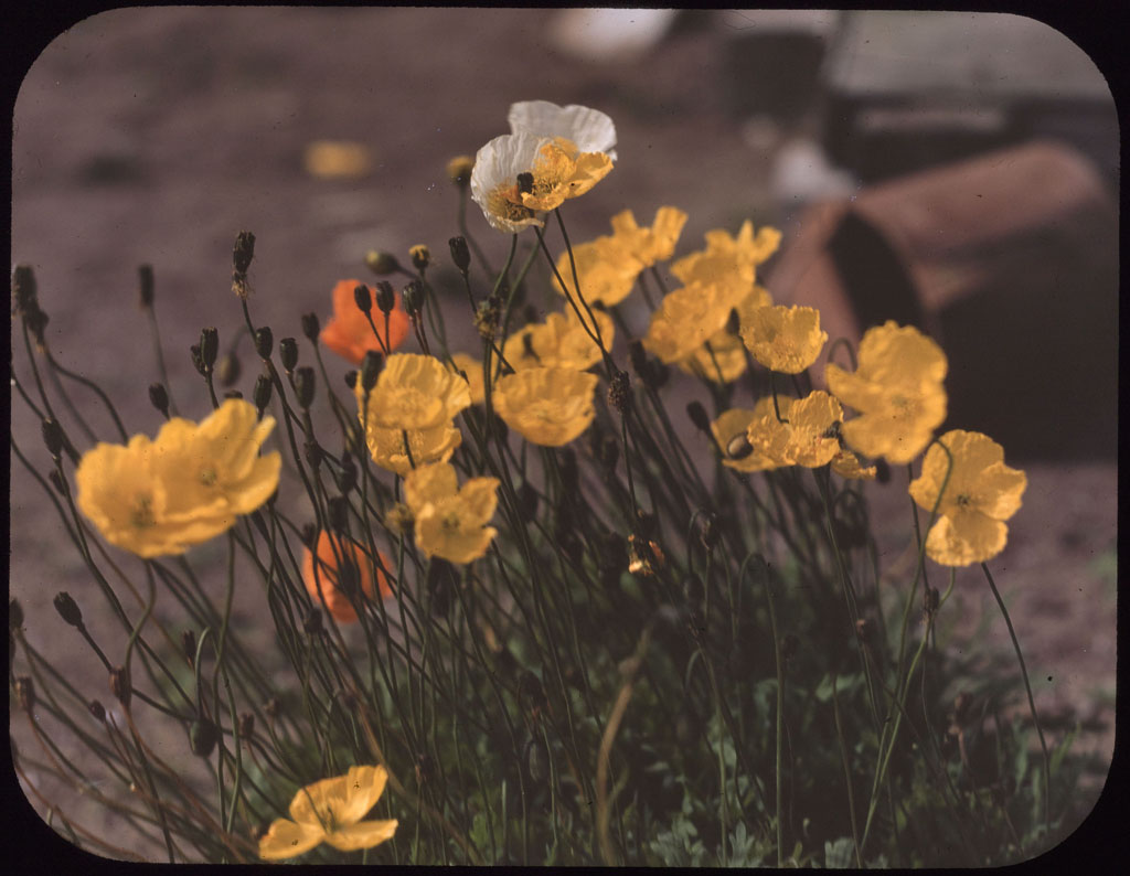 Donald Baxter MacMillan; Poppies, Arctic; 1913-1917; image; silver gelatin on glass; 10.16 cm x 8.26 cm x 0.64 cm (4 in. x 3 1/4 in. x 1/4 in.); TGM; North America