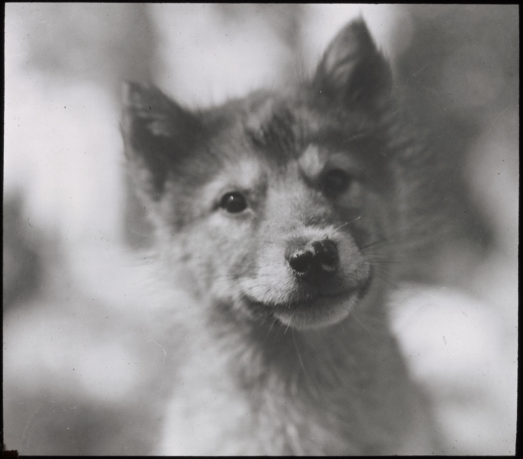 Donald Baxter MacMillan; Puppy at Etah; 1913-1917; image; silver gelatin on glass; 10.16 cm x 8.26 cm x 0.64 cm (4 in. x 3 1/4 in. x 1/4 in.); TGM; North America