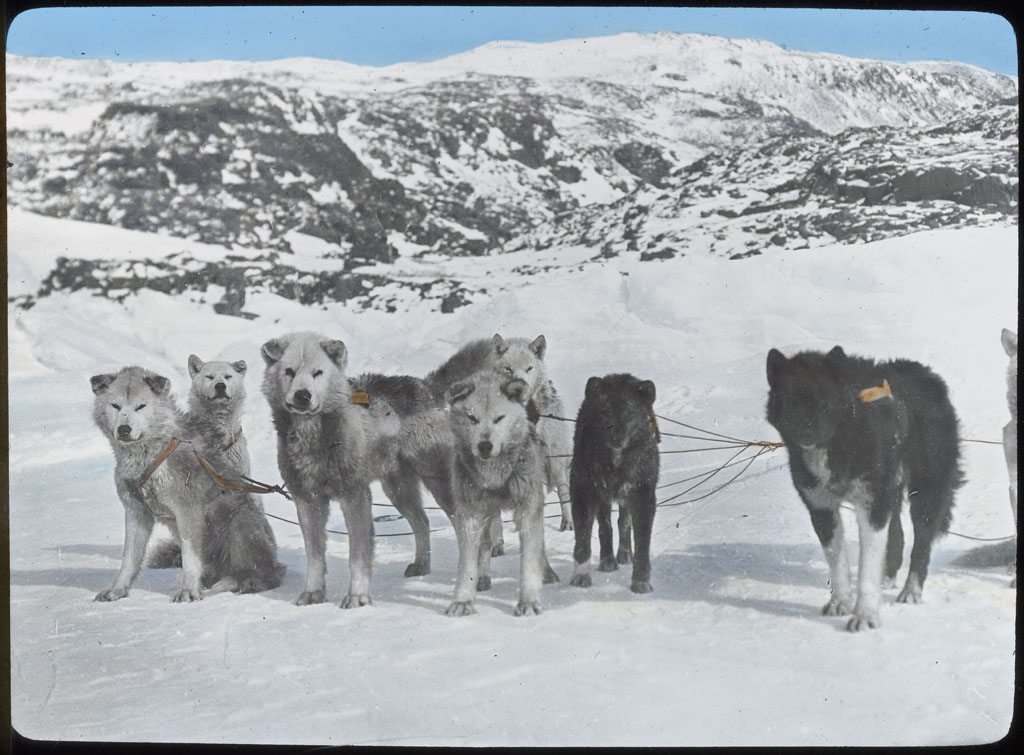 Donald Baxter MacMillan; Dog Team. MacMillan's. North Greenland 1913-1917; 1913-1917; image; silver gelatin on glass; 10.16 cm x 8.26 cm x 0.64 cm (4 in. x 3 1/4 in. x 1/4 in.); TGM; North America