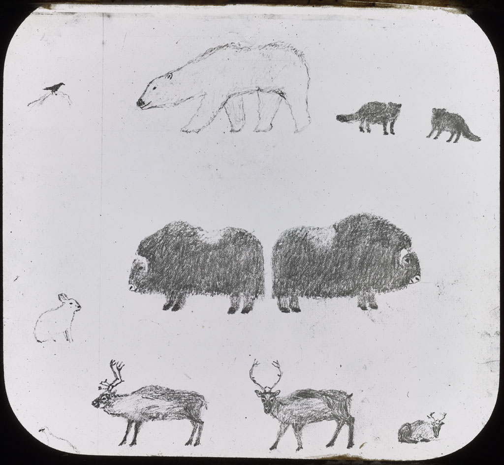 Donald Baxter MacMillan; Drawing of Bear, Musk-Ox, Reindeer; 1913-1917; image; silver gelatin on glass; 10.16 cm x 8.26 cm x 0.64 cm (4 in. x 3 1/4 in. x 1/4 in.); TGM; North America