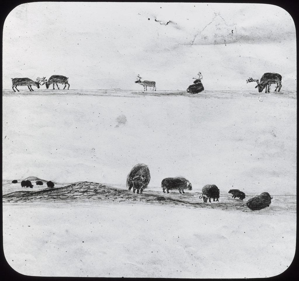Musk-Oxen, Caribou