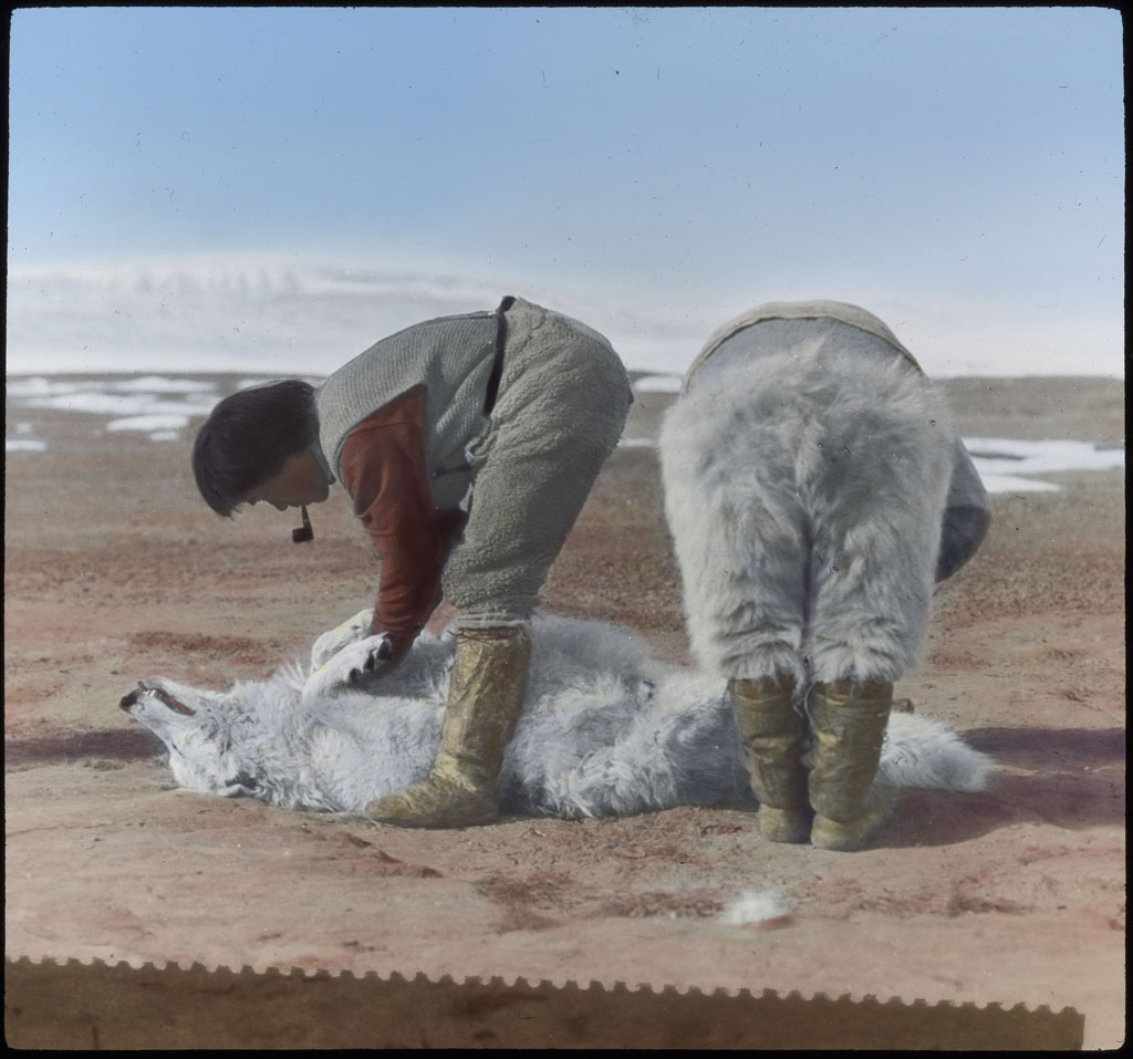 Donald Baxter MacMillan; E-tuk-ah-suk and Koo-e-tig-e-too Skinning White Wolf; 1913-1917; image; silver gelatin on glass; 10.16 cm x 8.26 cm x 0.64 cm (4 in. x 3 1/4 in. x 1/4 in.); TGM; North America