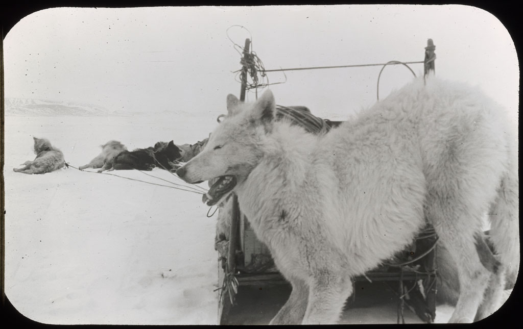 Donald Baxter MacMillan; White Wolf tied to sledge upstanders; 1913-1917; image; silver gelatin on glass; 10.16 cm x 8.26 cm x 0.64 cm (4 in. x 3 1/4 in. x 1/4 in.); TGM; North America