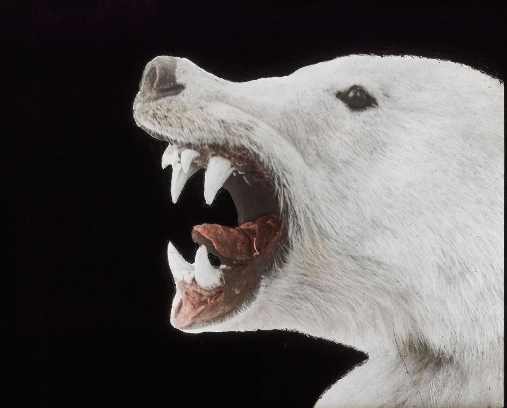 Donald Baxter MacMillan; Polar bear's head - showing teeth; 1913-1917; image; silver gelatin on glass; 10.16 cm x 8.26 cm x 0.64 cm (4 in. x 3 1/4 in. x 1/4 in.); TGM; North America