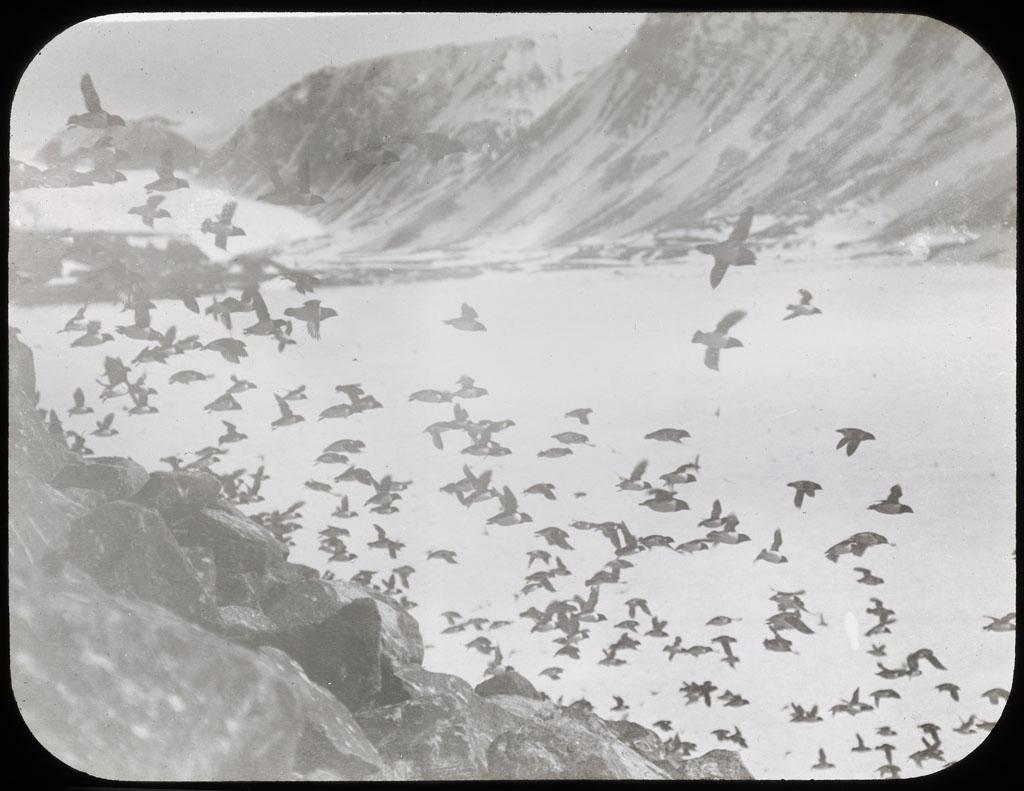 Dovekies in flight at Etah