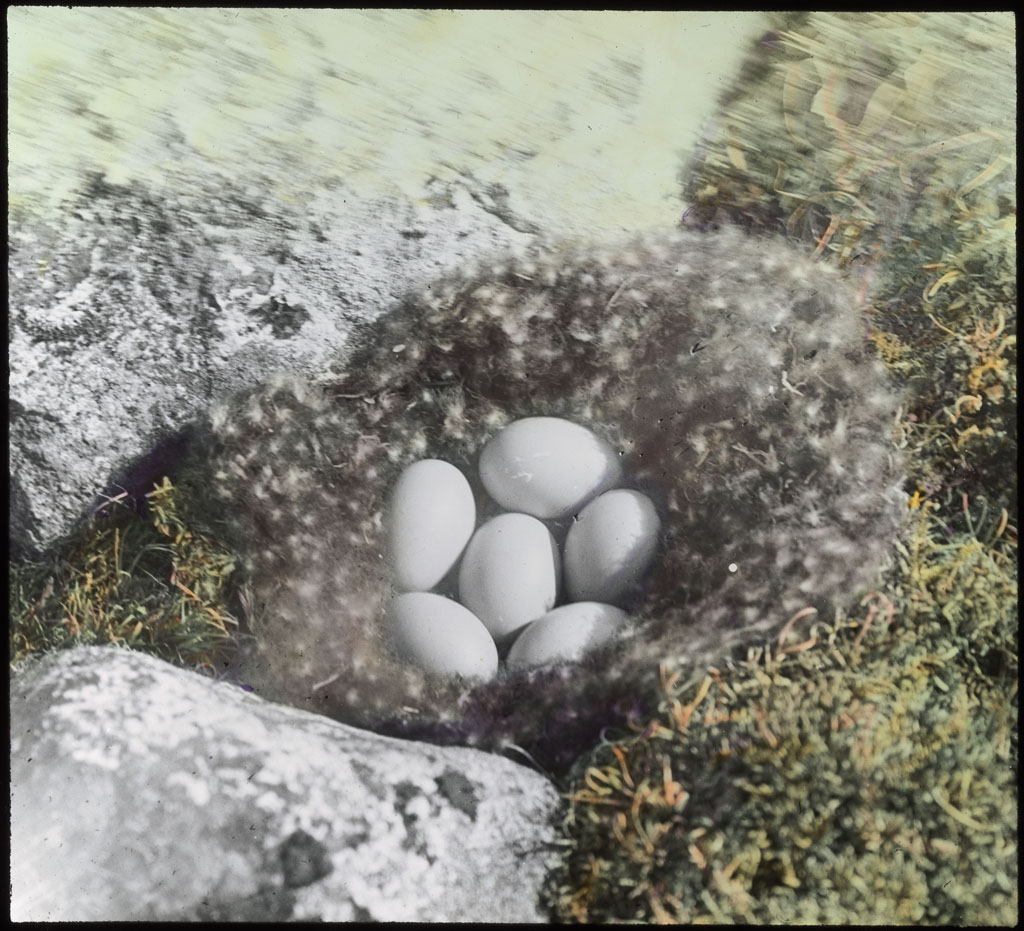 Donald Baxter MacMillan; Eggs of brant; 1913-1917; image; silver gelatin on glass; 10.16 cm x 8.26 cm x 0.64 cm (4 in. x 3 1/4 in. x 1/4 in.); TGM; North America