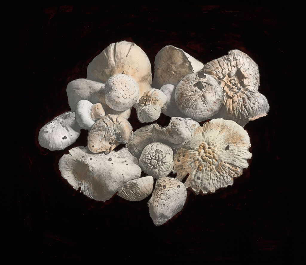 Donald Baxter MacMillan; Mushrooms; 1913-1917; image; silver gelatin on glass; 10.16 cm x 8.26 cm x 0.64 cm (4 in. x 3 1/4 in. x 1/4 in.); TGM; North America