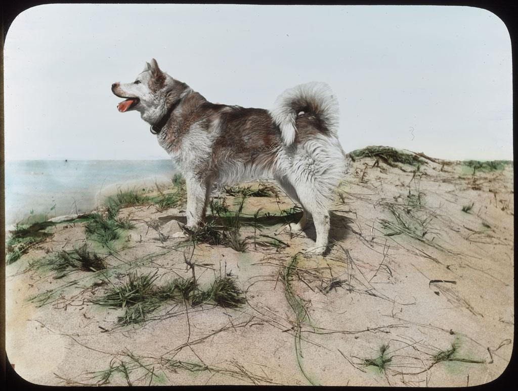 Donald Baxter MacMillan; Eskimo dog on dune at Provincetown, Mass. ; 1913-1917; image; silver gelatin on glass; 10.16 cm x 8.26 cm x 0.64 cm (4 in. x 3 1/4 in. x 1/4 in.); TGM; North America