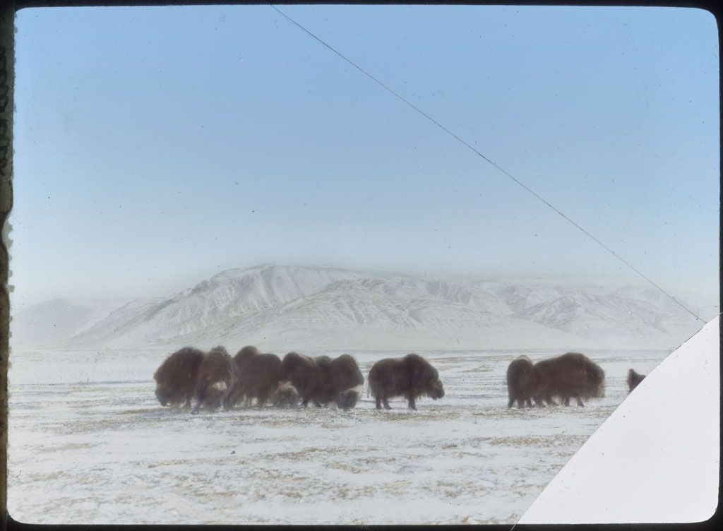 Donald Baxter MacMillan; Herd of Musk-oxen; 1913-1917; image; silver gelatin on glass; 10.16 cm x 8.26 cm x 0.64 cm (4 in. x 3 1/4 in. x 1/4 in.); TGM; North America