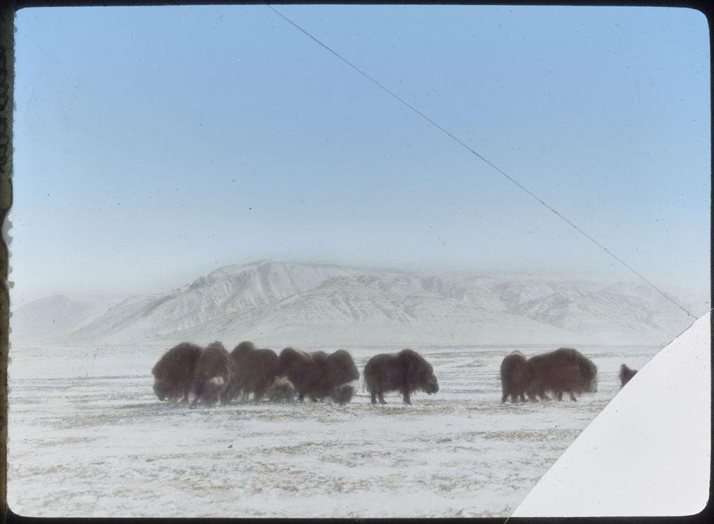 Herd of Musk-oxen