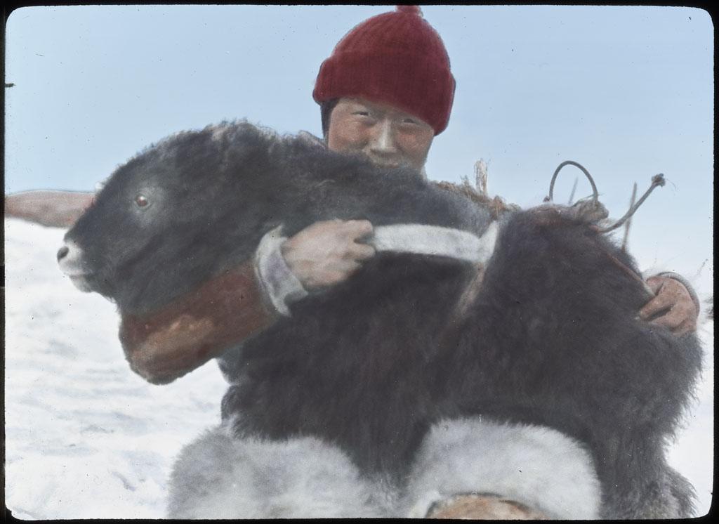 Kooetigato holding young muskox