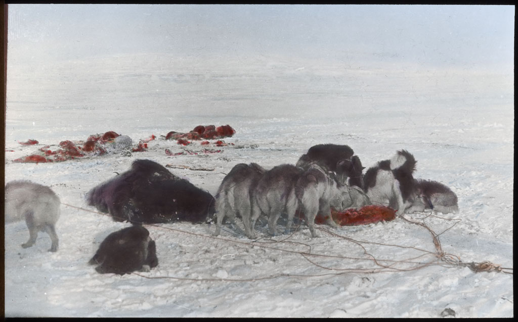 Dogs Eating muskox meat