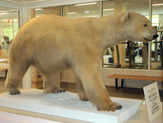 A stuffed and mounted adult polar bear gifted and captured by MacMillan in Northern Greenland in 1916
