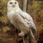 lc-bates-museum-snowy-owl